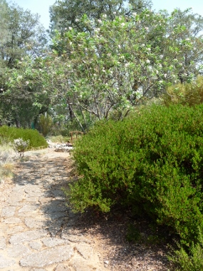 &#39;Howard McMinn&#39; manzanita, (<em>Arctostaphylos densiflora</em> &#39;Howard McMinn), landscape plant, Redding, Shasta Co. CA, Photo by MICHELE DRIGGS, See her <strong>R-S ARTICLE</strong>