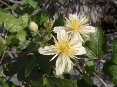 Chaparral clematis (<em>Clematis lasiantha)</em> flower, landscape plant, Redding, &nbsp;Shasta Co. CA, Photo by Len Lindstrand III See his<strong> R-S</strong> <strong>ARTICLE</strong> on <strong>CLIMBERS</strong>