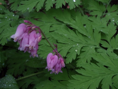 Pacific bleeding heart (<em>Dicentra formosa</em>), landscape plant, Redding, Shasta Co. CA, Photo by LEN LINDSTRAND III, See his <strong>R-S ARTICLE</strong>