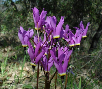Henderson&#39;s shooting star (<em>Dodecatheon hendersoni</em>) Swasey Trail, W. Redding, CA, Photo by Jay Thesken