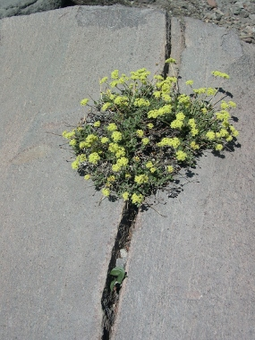 Sulfur buckwheat (<em>Eriogonum umbellatum)</em>, Panther Meadows, Mt. Shasta, Siskiyou Co. CA, Photo by Margaret Widdowson See her <strong>R-S</strong>&nbsp;<strong>ARTICLE