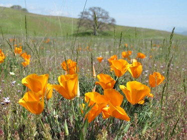 California poppy (<em>Eschscholzia californica</em>) Photo by Jay Thesken See JULIE KIERSTEAD NELSON&#39;S R-S <strong>ARTICLE</strong>