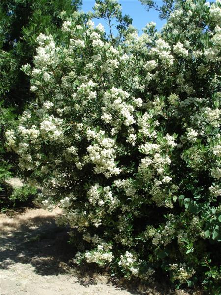 "Toyon (<em>Heteromeles arbutifolia)</em> in flower, landscape plant, Redding, &nbsp;Shasta Co. CA, Photo by Jay Thesken, See LEN LINDSTRAND III""s <strong>R-S ARTICLE</strong>"