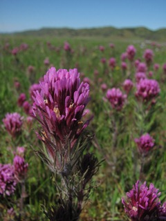 Purple owl&#39;s clover (<em>Orthocarpus purpurascens</em>), Redding, CA, Photo by Jay Thesken
