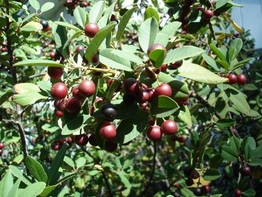 Coffeeberry (<em>Rhamnum califoriica),</em> Shasta Co. CA, Photo by Jay Thesken