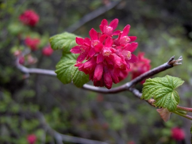 Flowering Currant (<em>Ribes sanquineum</em>) Oregon Caves N.M., Cave Junction, OR, Photo by Jay Thesken, See MICHELE DRIGGS&#39;&nbsp;<strong>R-S ARTICLE</strong>