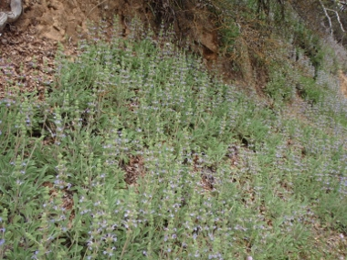 Sonoma sage (<em>Salvia sonomensis), </em>near Salt Crk. (off Gilman Rd. - Shasta Lake)&nbsp;Shasta Co. CA, Photo by Len Lindstrand III See his <strong>R-S</strong> <strong>ARTICLE</strong>